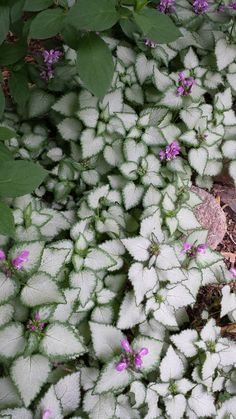 Lamium (dead nettles) is a great shade perennial and ground cover that spreads rapidly and does well with little sun.