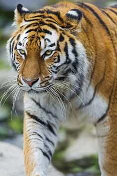 Elena walking again #tigers #tigerlovers #animallovers #tigerfans