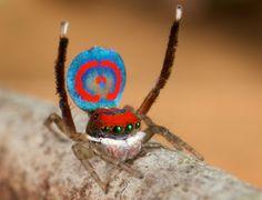 Araignées-paons (Maratus speciosus) qui exécute sa danse de séduction