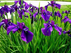 Border bearded iris abilene yahoo image search results for Idea garden monselice orari