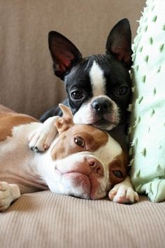 Boston Terriers are so cute.