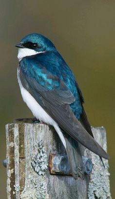 Tree Swallow: Medium-sized swallow with iridescent blue-green upperparts and white underparts. The wings are dark gray and tail is dark and forked. Black bill, legs and feet. Swift, graceful flight, alternates slow, deep wing beats with short or long glides. Turns back sharply on insects it passes.