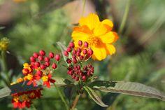 IMG_2633   Flickr - Photo Sharing! Butterfly Bush