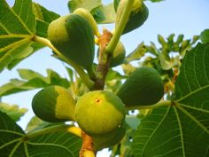 Ζεολιθικά σύκα. Αραδίππου, Κύπρος. 04/08/2914. Εξαιρετικό παρθένο ελληνικό ελαιόλαδο με ζεόλιθο στην καλλιέργεια. Εμπόριο ζεόλιθου & τυποποιημένου ελαιόλαδου.