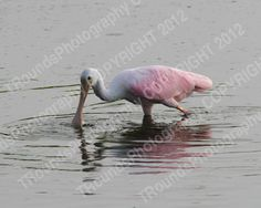 https://www.etsy.com/listing/98515192/roseate-spoonbill-no1019?ref=shop_home_active
