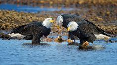 Eagles-feeding-at-HMills