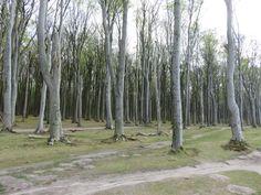 Gespensterwald Nienhagen an der Ostsee #norddeutschland #ostsee #deutschland