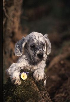 English Setter puppy - oh gosh that's cute.