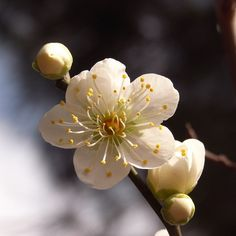 plum blossoms, Hiroshima garden