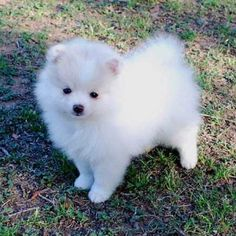 Pomeranian puppies ❤