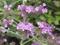 Verbena - Wikipedia, the free encyclopedia ... pray for me