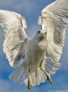 Gull details