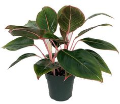 """Sapphire Suzanne Chinese Evergreen Plant - Aglaonema - Grows in Dim Light-6"""""""" Pot"""