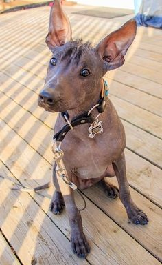 Xoloitzcuintle Dog Breed Information and Pictures