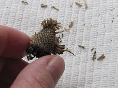 Excellent instructions for harvesting Purple Cone Flower (Echinacea) seeds.