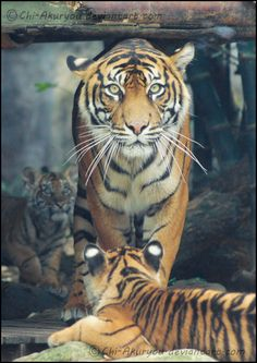 Another picture of the protective mother and her cute little cubs, considering a lot of people wanted to see more tiger photos (:  #cute #animals