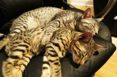 Nylah and Bambu are the lovely little kittens owned by Jesse Wellens and his girlfriend Jeana of the PrankvsPrank YouTube channel.  Awwwwwwwwwww.