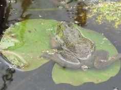 April is National Frog Month! Photo by  Jonathan Schechter