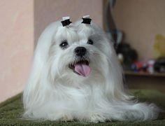 Lindo cachorrinho Maltês branquinho como a neve #amo cachorros