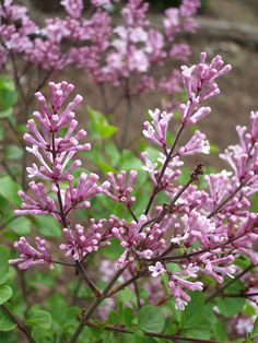 Dwarf Korean Lilac, the fragrance is intoxicating, last longer than regular lilacs and will rebloom if pruned after first bloom.