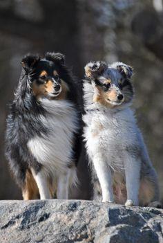 shetland tricolore et bleu