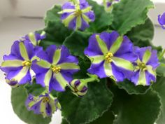 African Violet 'Yukako' is a stunning standard blue and green chimera from Japan. I picked up a very nice plant at the DAVS Convention at a surprisingly good price.