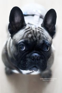 I so want a frenchie. Prefer white or blue but not written in stone. I WILL find my next soul mate when time is ready.
