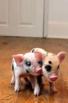 Cute little Piggies #Pig