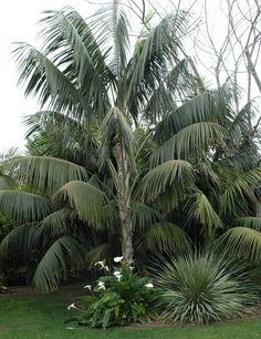 Kentia palms are great in the ground or in pots. They are a staple of Mediterranean courtyards. They would be great in shady areas along the street as well.