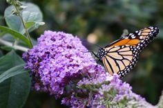 PENTAX Photo Gallery : Butterfly wisteria - by David Fletcher
