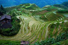 Rice terrace fields of Longsheng, China (Credit: Wikipedia)