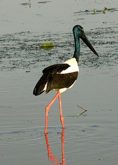 Australian Jabiru sauntering the Yellow Waters, Kakadu, Australia by Precious Dream