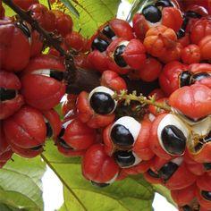 Fruta de A a Z - Guarana 43
