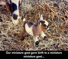 miniture-goat.jpg 620×541 pixels