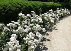 Image result for iceberg floribunda rose in small gardens