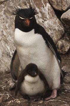 Rockhopper Penguin (Eudyptes chrysocome) and chick, Saunders Island, Falkland Islands
