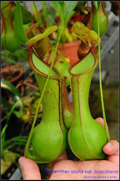 Four New Species of Nepenthes | Natch Greyes' Carnivorous Plants