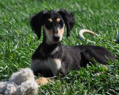 10 week old Saluki puppy - Arrow