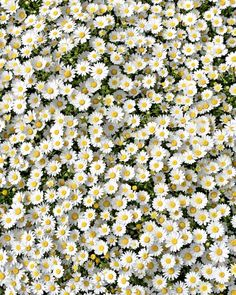 ▪ Hope you have a loving holiday with your family and loved ones . Frühling Wallpaper, Flower Phone Wallpaper, Wallpaper Backgrounds, Flowers Nature, Beautiful Flowers, Nature Nature, Daisy Love, Flower Aesthetic, Love Photos