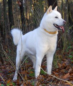 Hokkaido Dog breed info,Pictures,Characteristics,Hypoallergenic:No Japanese Dog Breeds, Japanese Dogs, Japanese Akita, Cute Animals With Funny Captions, Cute Animals Puppies, Adorable Animals, Dog Breeds Pictures, Dog Pictures, Hokkaido Dog