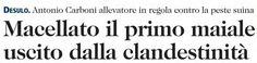 SCRIVOQUANDOVOGLIO: DESULO:MACELLATO IL PRIMO MAIALE USCITO DALLA CLAN...