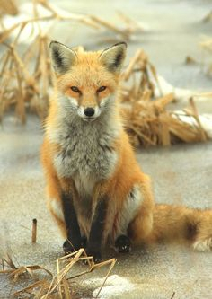 Fox by Inland Bay