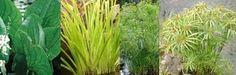 Pond Bog Plants for Veggie Plant Filter