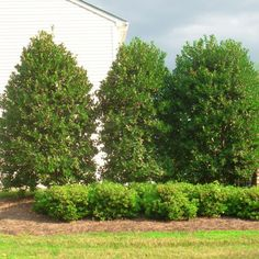 The Nellie Stevens Holly is a very fast growing evergreen that provides year-round privacy. Nature Hills Nursery carries multiple sizes of plants to satisfy your landscape. Order your own unique Nellie Stevens Holly tree now and get up to off! Fast Growing Evergreens, Fast Growing Trees, Privacy Landscaping, Front Yard Landscaping, Landscaping Ideas, Garden Trees, Garden Planters, Back Gardens, Outdoor Gardens
