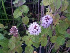 Water Mint Sweet smelling foliage with whorls of deep lilac flowers. Pond Plants, Bee Friendly, Lilac Flowers, Evergreen, Herbs, Garden, Cart, Colour, Google Search