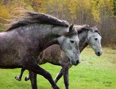 I love dapple gray horses...