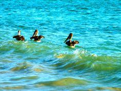 Pelicans on Isabela Island #Galapagos #Travel