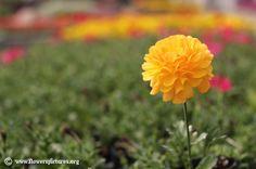 Persian buttercup (2) White Flower Wallpaper, 3d Wallpaper, Colorful Flowers, White Flowers, Flower Colors, Flower Images, Flower Pictures, Persian Buttercup, Flora