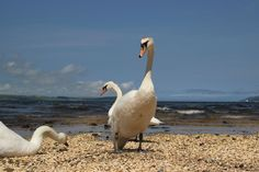 To start the high summer set ...moulting swans go on the beach on the Rhins of Galloway (by @Norahmoo)