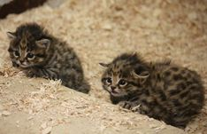 Black-footed cats, 2 kittens